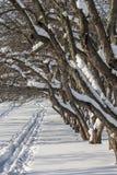 Snow-covered appelbomen in een boomgaard, sluiten omhoog stock foto