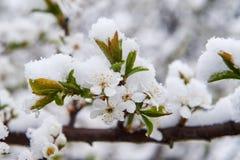 Snow-covered appelringen Royalty-vrije Stock Foto