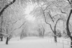 Snow-covered apple alley in urban park. Black and white photo. royalty free stock image