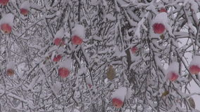 Snow covered apples on the tree stock footage