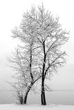 Snow Covered Ash Tree Royalty Free Stock Photos