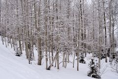 Snow Covered Aspen Trees Royalty Free Stock Photo