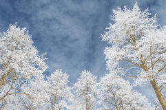 Snow covered aspens against a cloudy blue sky Stock Photo