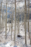 Snow Covered Aspens Stock Image