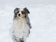 Snow Covered Australian Shepherd Royalty Free Stock Photos