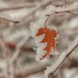 Snow Covered Autumn Leaf stock image