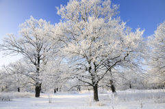 Snow-covered Bäume im Winter Stockfotografie