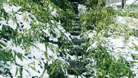 Snow covered Bamboo,swaying in wind,Lane,Trails,Road. stock video