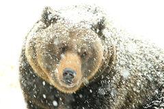 Snow-covered bear Royalty Free Stock Photos