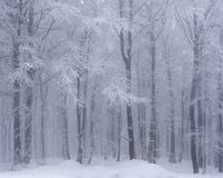 Snow covered beech forest in winter Stock Images