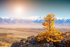 Snow-covered bergen en gele de herfstboom Altai, Siberië, Rusland stock foto's
