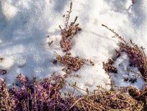 Snow-covered bevroren takjes van lavendel royalty-vrije stock foto