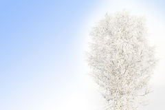Snow covered birch Royalty Free Stock Image