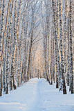 Snow-covered birch alley Stock Images