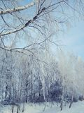 Snow-covered birch branches stock photo