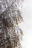 Snow-covered birch branches with yellow leaves Stock Photography