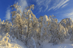 Snow-covered birch forest Royalty Free Stock Images