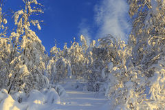 Snow-covered birch forest Royalty Free Stock Image