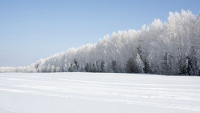 Snow-covered birch forest in winter Royalty Free Stock Photos
