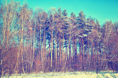 Snow-covered birch and pine trees in the winter forest Royalty Free Stock Photo