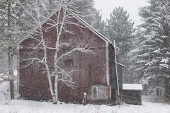 Snow covered birch tree and a red barn. Royalty Free Stock Photo