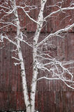 Snow covered birch tree and a red barn. Stock Image