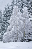 Snow covered birch trees Stock Photo