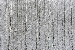 Snow covered birches Royalty Free Stock Photography