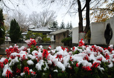 Snow-covered bloemen Stock Foto's