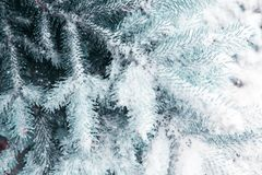 Snow-covered blue fir tree. Winter background with snow. stock images