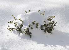 Snow covered boxwood shrub Royalty Free Stock Image