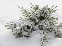 Snow covered boxwood shrub Stock Photo