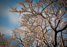 Snow covered braches. Winter scene snow covered branches in golden light Stock Photos