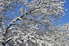 Snow covered branch Stock Photos