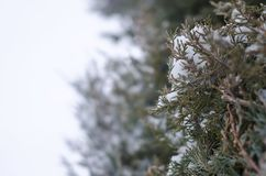 Snow covered juniper tree branch royalty free stock image