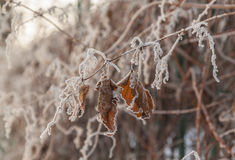 Snow-covered branch of grapes on the fence in the winter Stock Photography