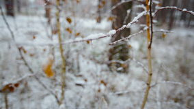 Snow-covered branch with leaves in the winter forest.  stock video footage