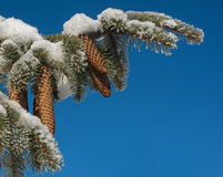 Snow covered branch and many blue sky Royalty Free Stock Photo