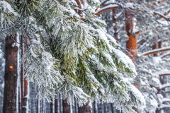 Snow-covered branch. Сoniferous tree branch covered with snow Stock Photos