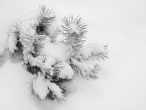 Snow-covered branch of a pine Stock Images