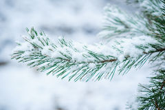 Snow-covered branch of a pine in winter park Royalty Free Stock Photos