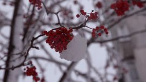 Snow-covered branch of a red mountain ash in snow stock video