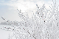 Snow-covered branch in the setting sun Stock Image