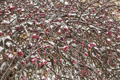 Snow-covered branch of wild apple tree with red fruits Royalty Free Stock Photography