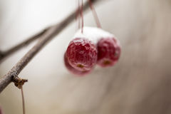Snow-covered branch of wild apple tree with red fruits Royalty Free Stock Photos