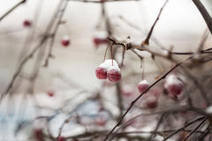 Snow-covered branch of wild apple tree with red fruits Stock Images