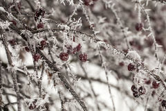 Snow-covered branch of wild apple tree with red fruits Royalty Free Stock Images