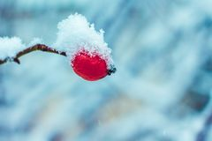 Snow-covered branch of a wild rose with one berry on a blurry ba Royalty Free Stock Photos