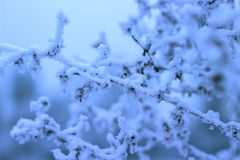 Snow covered branch Stock Photo