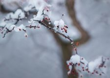 Snow covered branch in winter. A holly branch with a few berries, covered in winter snow Stock Photo